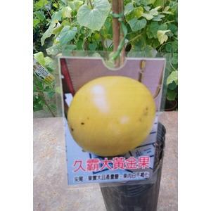 花花世界_水果苗--久霸大黃金果--最新品種/4吋盆/高30-40公分/Ts