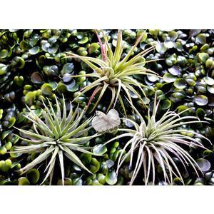 [ 全紅小精靈空氣鳳梨 ionantha rubra  ]活體空氣鳳梨 空鳳植栽 需通風良好