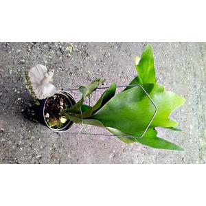 活體 [鹿角蕨] 室內植物 5吋盆栽 送禮小品盆栽