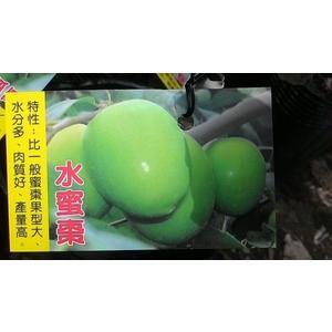 ** 水蜜棗 ** 4.5吋盆/高20-35cm OvO