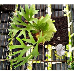 [冠亞鹿角蕨] 皇冠交亞猴鹿角蕨 懸掛式垂吊植物 半日照環境佳 送禮盆栽