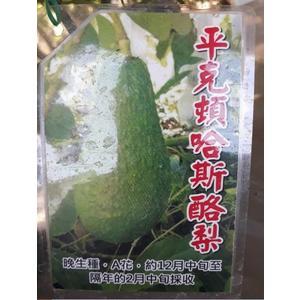 水果苗 **平克頓哈斯酪梨 ** 4吋盆/高30-50cm/ 熱量高【花花世界玫瑰園】S