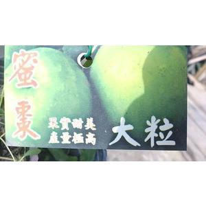 ** 蜜棗-大粒 ** 4.5吋盆/高30cm OvO