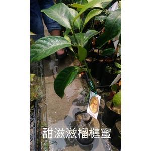 花花世界_水果苗-- 甜滋滋榴槤蜜--甜度可達20度/4吋盆/高30-50cm/TS