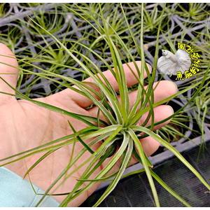 [多國花綠光 空氣鳳梨] 活體空氣鳳梨 空鳳植栽 需通風良好