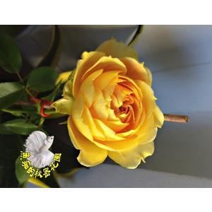 [橘黃色千層大玫瑰花盆栽] 8吋盆活體盆栽 多年生 四季開花 半日照佳