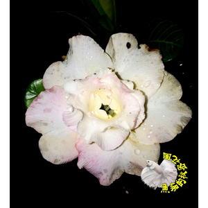 [泰尚黃] 5吋盆 新品種 重瓣沙漠玫瑰盆栽 活體花卉盆栽 半日照佳 -寄出時不一定有花!