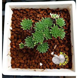 [小松綠] 3寸盆 活體多肉植物 仙人掌多肉盆栽 送禮小品盆栽 室外半日照