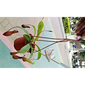 活體 豬籠草捕蠅草 捕蚊草 食蟲植物3吋盆栽 可以捕捉小昆蟲