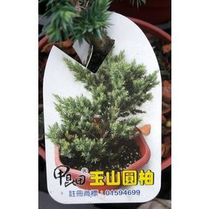 喬木---松柏植物** 玉山圓柏 ** 4吋盆/ 又名:高山伯【花花世界玫瑰園】s