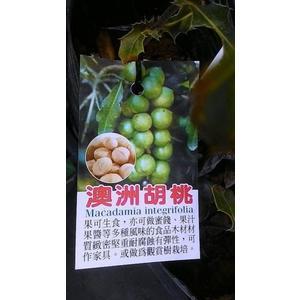 花花世界-水果苗-- 澳洲胡桃 (夏威夷火山豆) (嫁接苗)--香脆可口/6吋盆/高30-40cm/TS