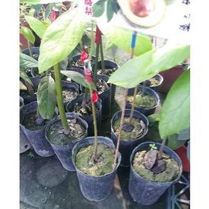 水果苗 **紐西蘭大果酪梨(新品種~ 哈斯~) ** 4吋盆/高40-50cm/ 纖維含量很高【花花世界玫瑰園】S