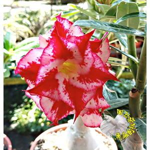 [紅鸞] 5吋盆 新品種 重瓣沙漠玫瑰盆栽 活體花卉盆栽 半日照 幾乎全年開花 送禮盆栽