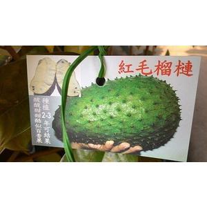 花花世界_紅毛榴槤--(刺果番荔枝)--多汁酸甜/4吋/高30-50公分/TC
