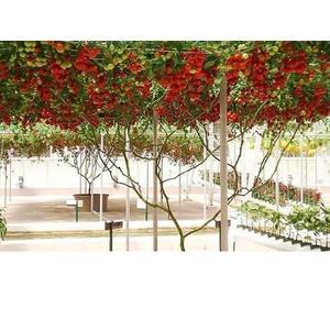 【居家優品】壽光菜博會鎮館之寶 水果種子 紅番茄樹 黑番茄樹 黃番茄樹種子