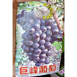 [巨峰葡萄苗] 3-3.5寸黑盆 室外多年生果樹盆栽 種大盆或種地上才會比較快結果