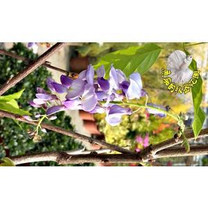 [日本紫藤花] 多年生室外植物 4-5吋活體花卉盆栽 過年送禮花卉盆栽