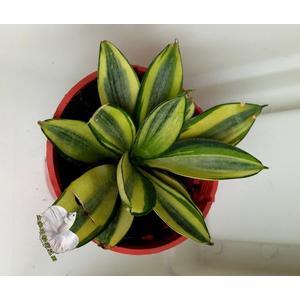活體  虎尾蘭 虎皮蘭 室內植物3吋盆栽 可以淨化空氣