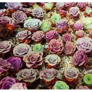 CARMO混合山地玫瑰多肉植物種子(10顆裝)【F51】