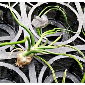 [ 大 章魚空氣鳳梨 Bulbosa ] 活體空氣鳳梨 空鳳植栽 需通風良好