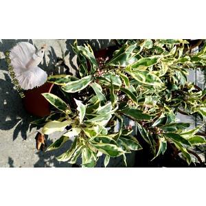 [斑葉春不老盆栽] 室外植物 5-6吋活體花卉盆栽 送禮小品盆栽