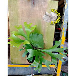[懸掛式 冠亞鹿角蕨木板盆栽] 室外植物 多年生觀葉盆栽 種越久長越大