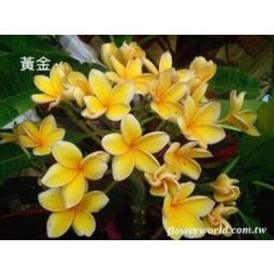 喬木 ** 雞蛋花-黃金香水 ** 5吋盆/高25-35 cm/色彩鮮豔亮麗【花花世界玫瑰園】R
