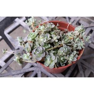 花花世界_多肉植物--石玫瑰,又稱持子石蓮--可愛討喜外型/3吋盆苗/Tm