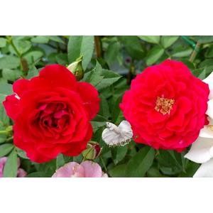 紅色 大玫瑰花盆栽 8吋盆活體盆栽 多年生 四季開花