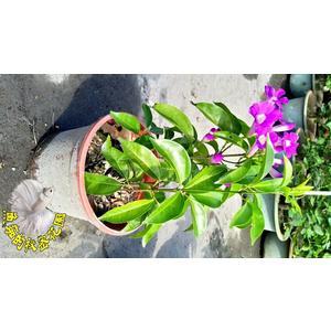 [蒜香藤盆栽 紫羅蘭盆栽] 6寸盆 室外爬藤花卉 多年生觀賞花卉盆栽