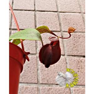 [3吋黑維京蘋果豬籠草] 半日照佳  食蟲植物豬籠草盆栽 送禮首選 生態觀察教學盆栽 會補食昆蟲