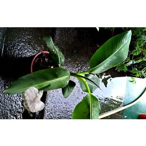 活體  可食用 北蕉 新北蕉 香蕉苗 5吋盆栽  要種地上才容易結果