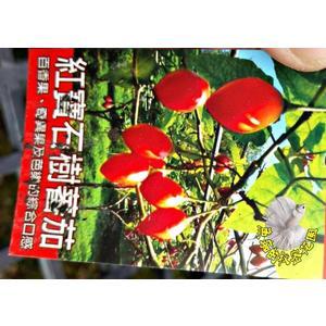 [紅寶石樹番茄] 5-6寸盆 活體果樹盆栽 送禮盆栽 室外半日照佳