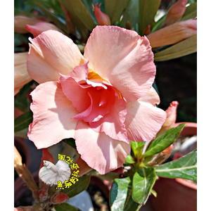 [童顏] 5吋盆 新品種 重瓣沙漠玫瑰盆栽 活體花卉盆栽 半日照 幾乎全年開花 送禮盆栽