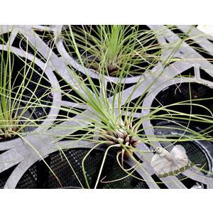 [ 大 綠毛毛空氣鳳梨 Filifolia ] 活體空氣鳳梨 空鳳植栽 需通風良好