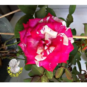 [紅白雙色大玫瑰花盆栽] 8吋盆活體盆栽 多年生 四季開花 半日照佳