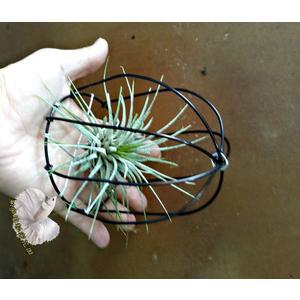 手作 鋁線鳥籠+空氣鳳梨 [小精靈] 整組出售 活體空氣鳳梨 空鳳植栽 需通風良好