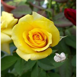 黃色 大玫瑰花盆栽 8吋盆活體盆栽 多年生 四季開花