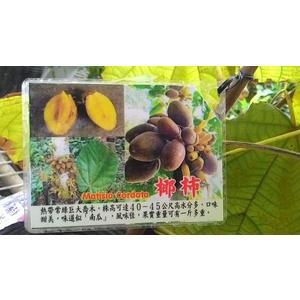 ** 椰柿 ** 4.5吋盆/高30-45cm OvO