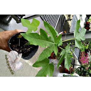 [矮木瓜苗 矮種紅妃木瓜盆栽 ] 3.5吋盆活體水果植物盆栽, 結果可食用