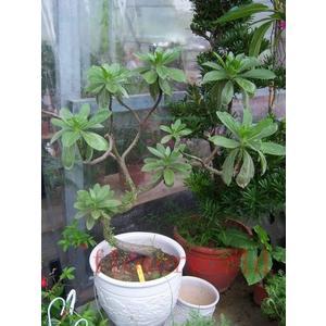 喬木 ** 白水木 ** 1尺盆/高70-100cm/樹徑粗度3-5cm【花花世界玫瑰園】s