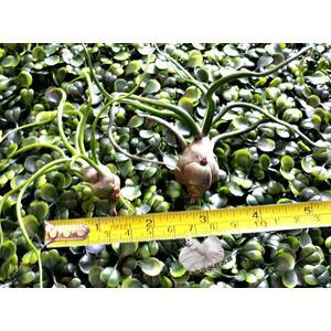 [ 小 章魚空氣鳳梨 Bulbosa ] 活體空氣鳳梨 空鳳植栽 需通風良好