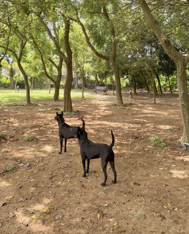 日曜犬舍布農原生種台灣土狗
