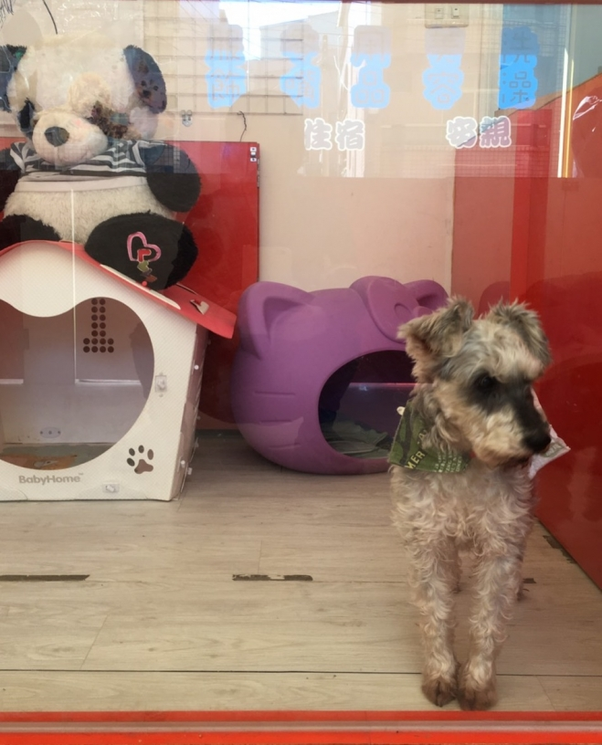 桃園平鎮愛犬當家寵物美容屋