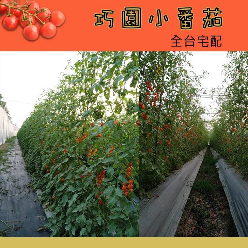 巧園小番茄全台宅配