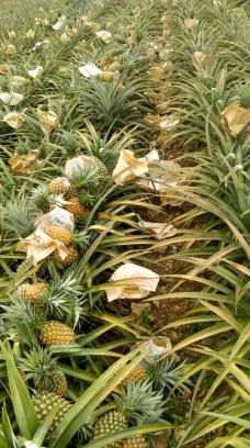 正東整合農業有限公司一禾通農產鳳梨