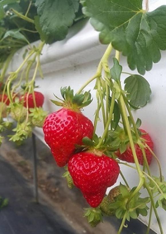 灣潭玫瑰草莓園-大湖採草莓