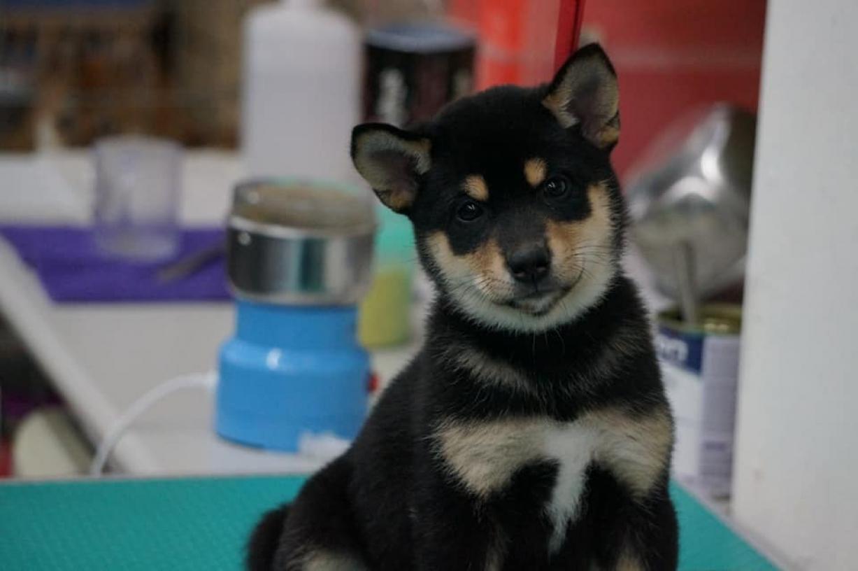 柴犬專賣店-總柴日本柴犬專門犬舍