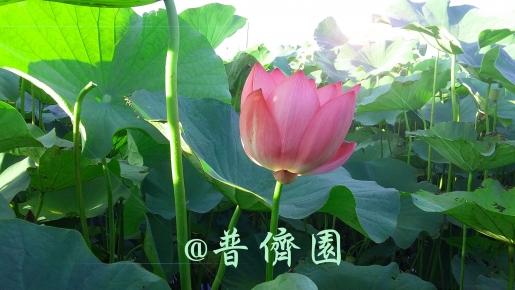 台南農產品蓮藕粉/米首選-普儕園