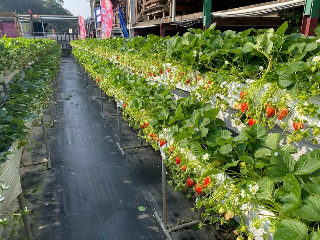 豐樂草莓園-苗栗採草莓、大湖採草莓推薦